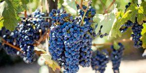 Vigne à beau rendement grâce au compost